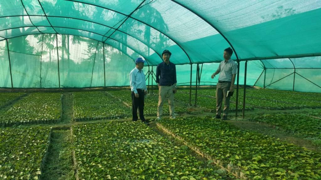 Junge Teepflanzen geschützt vor Wetter in Miao