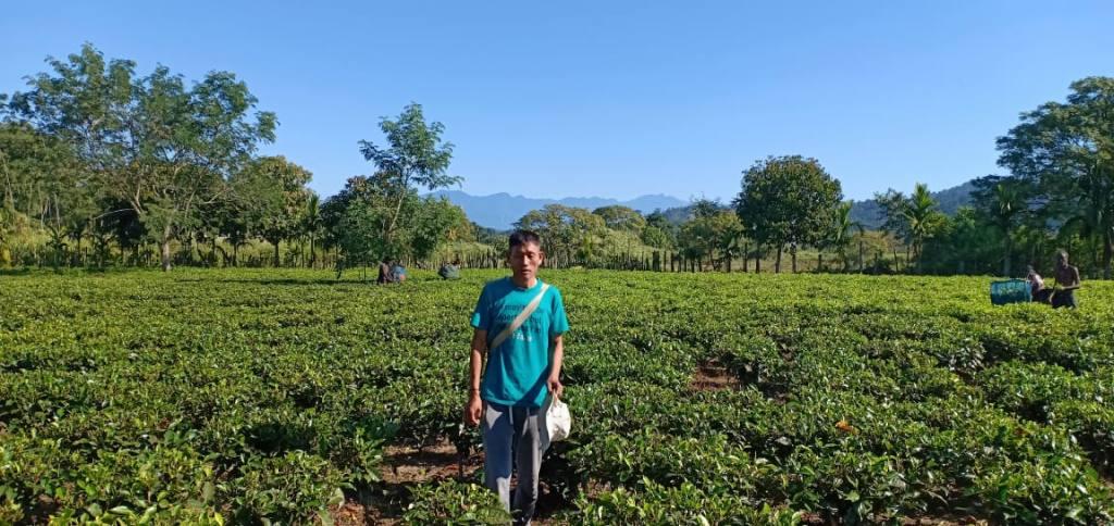 Teepflanzen im Freiland Miao