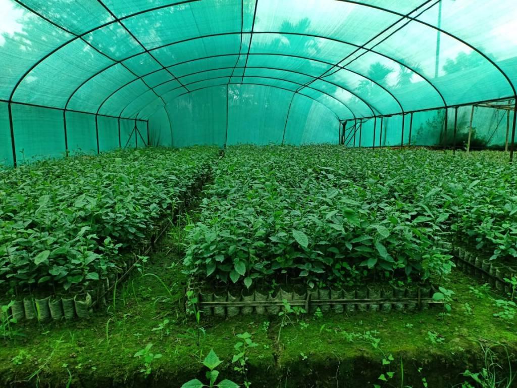 9 Monate alte Teepflanzen auf der neuen Teeplantage in Miao Indien
